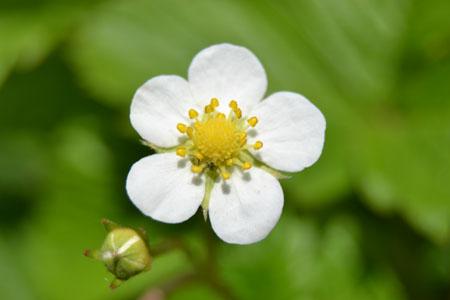 ワイルドストロベリーの育て方、花