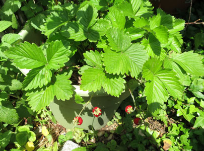 ワイルドストロベリーの育て方、鉢植え